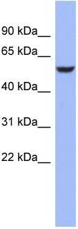 Western blot - BRUNOL4 antibody (ab94645)