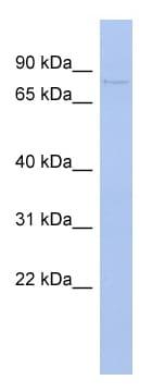 Western blot - PAPOLB antibody (ab94693)
