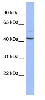 Western blot - NASP antibody (ab94779)