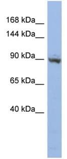 Western blot - ZNF546 antibody (ab94795)