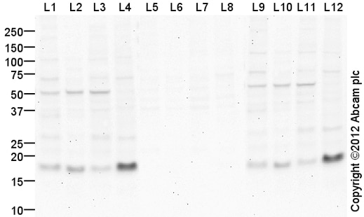Western blot - Anti-Histone H3.3 antibody (ab94817)