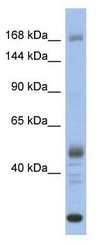 Western blot - Chd1 antibody (ab94848)
