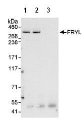 Immunoprecipitation - FRYL antibody (ab95011)