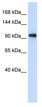 Western blot - EXOSC10 antibody (ab95028)