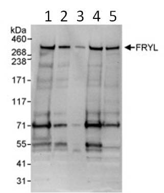 Western blot - FRYL antibody (ab95065)