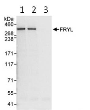 Immunoprecipitation - FRYL antibody (ab95065)