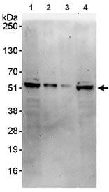Western blot - PYGO1 antibody (ab95072)