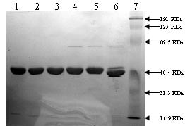 Functional Studies - Ac-TVASSSTA Octapeptide peptide (ab95132)