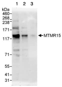 Western blot - MTMR15 antibody (ab95171)