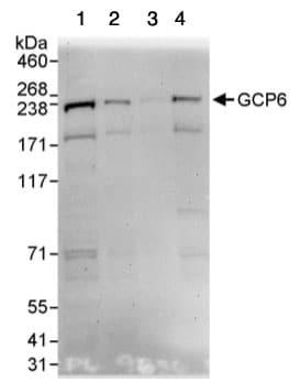 Western blot - GCP6 antibody (ab95172)