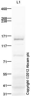 Western blot - Anti-Insulin Receptor antibody (ab95231)
