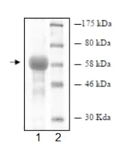 SDS-PAGE - JNK1 protein (Tagged) (ab95248)