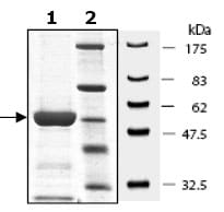 SDS-PAGE - MEK6 protein (Active) (ab95252)