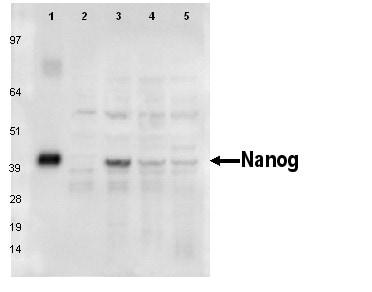 Western blot - Nanog antibody [PR-2E11] (ab95334)