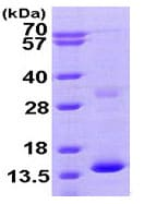 SDS-PAGE - HBZ protein (His tag) (ab95347)