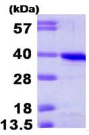 SDS-PAGE - Cyclin H protein (His tag) (ab95351)