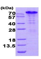 SDS-PAGE - Bag3 protein (His tag) (ab95384)