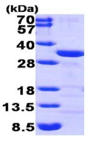 SDS-PAGE - CLIC1 protein (His tag) (ab95486)