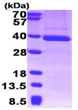 SDS-PAGE - TFIIB protein (His tag) (ab95501)