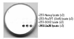Dot Blot - Lin28 antibody [PR-4C9] (ab95852)
