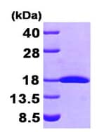 SDS-PAGE - FHIT protein (His tag) (ab95856)