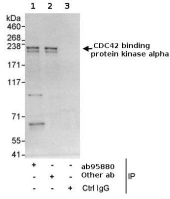 Immunoprecipitation - CDC42 binding protein kinase alpha antibody (ab95880)