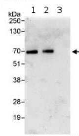 Immunoprecipitation - Kinesin 2 antibody (ab95882)