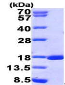 SDS-PAGE - RUNX3 protein (His tag) (ab95893)