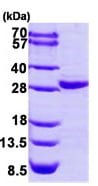 SDS-PAGE - COL4A3BP protein (His tag) (ab95897)