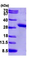 SDS-PAGE - PCMT1 protein (His tag) (ab95914)