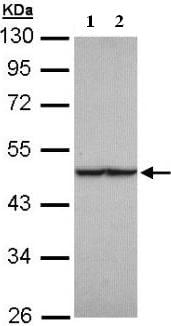 Western blot - FH antibody (ab95947)