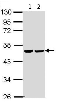 Western blot - FH antibody (ab95950)