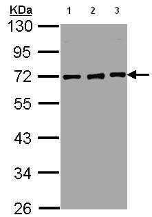 Western blot - Nucleoporin p62 antibody (ab95956)