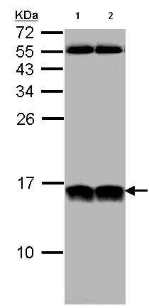 Western blot - NHP2L1 antibody (ab95958)