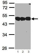 Western blot - NSFL1C antibody (ab95963)