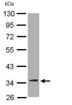 Western blot - DECR1 antibody (ab95965)