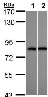 Western blot - DDX3Y antibody (ab95979)