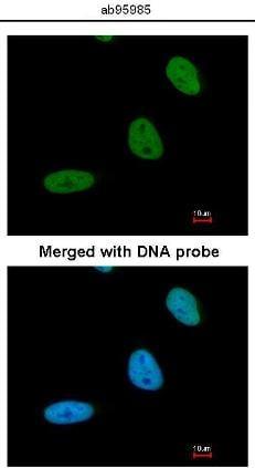 Immunocytochemistry/ Immunofluorescence - BRCC45 antibody (ab95985)