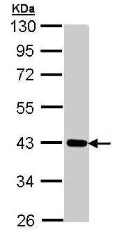 Western blot - CRTAP antibody (ab95988)