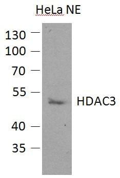 Western blot - HDAC3 antibody (ab96005)