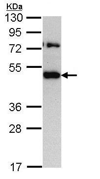 Western blot - TRAM1 antibody (ab96106)