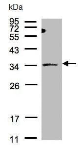 Western blot - SIAT4A antibody (ab96129)