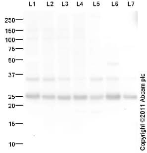 Western blot - Translin antibody (ab96155)