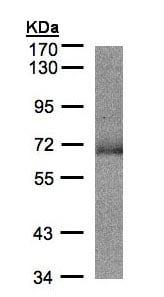 Western blot - SUOX antibody (ab96187)