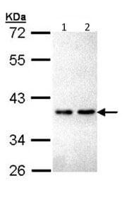 Western blot - ZNF346 antibody (ab96198)