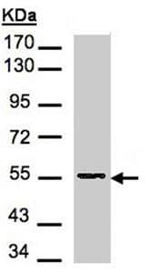 Western blot - Aspartyl Aminopeptidase antibody (ab96199)