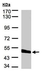 Western blot - CPVL antibody (ab96201)