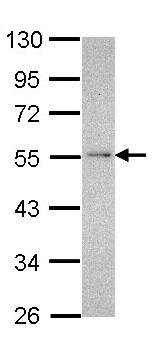 Western blot - NDUFV1 antibody (ab96227)