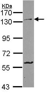 Western blot - PCDH1 antibody (ab96232)