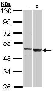 Western blot - GAL3ST1 antibody (ab96243)